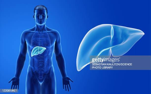 male liver, illustration - human digestive system stock illustrations