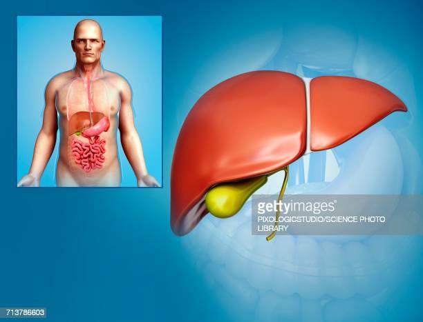 male liver, illustration - human liver stock illustrations