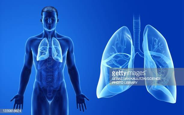male lung, illustration - anatomy stock illustrations