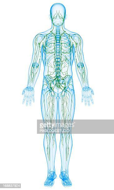 male lymphatic system, artwork - immune system stock illustrations, clip art, cartoons, & icons