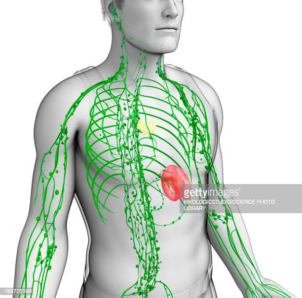 Thymus Stock Illustrations And Cartoons Getty Images