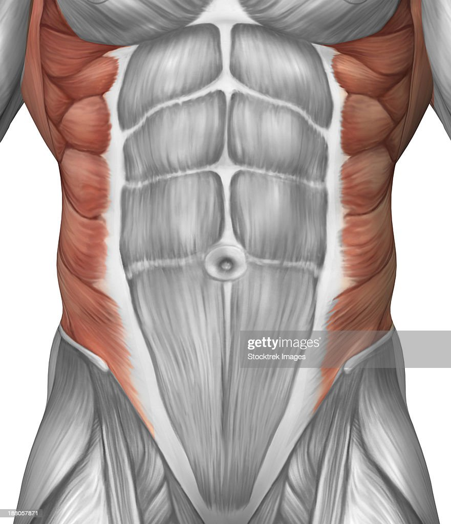 Male muscle anatomy of the abdominal wall. : stock illustration