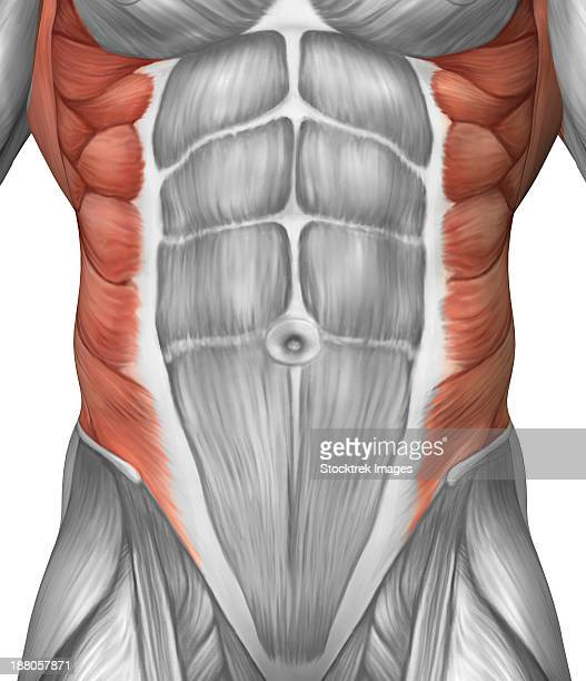 male muscle anatomy of the abdominal wall. - abdominal muscle stock illustrations, clip art, cartoons, & icons