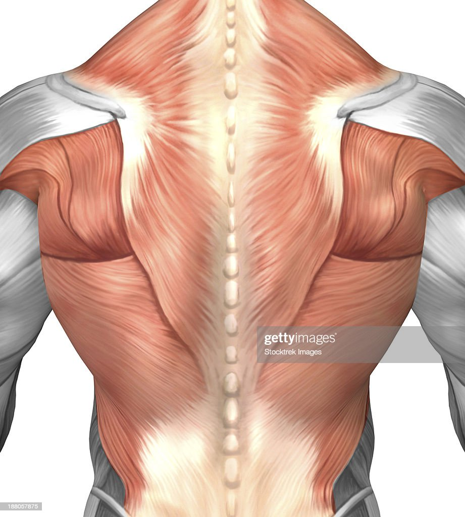 Male Muscle Anatomy Of The Human Back Stock Illustration | Getty Images