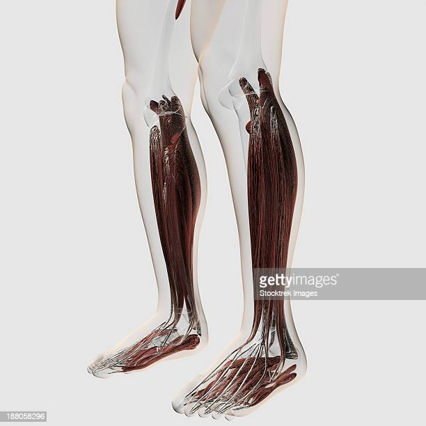 Male Muscle Anatomy Of The Human Legs Posterior View Stock