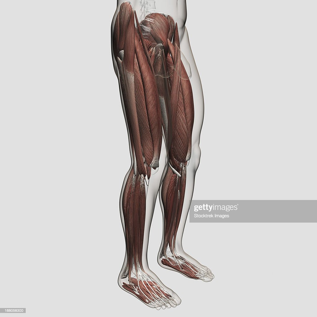Male Muscle Anatomy Of The Human Legs Anterior View Stock