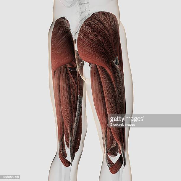Iliotibial Tract Stock Illustrations And Cartoons | Getty Images