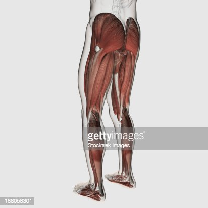Anatomy Of Human Thigh Muscles Anterior View Stock Illustration