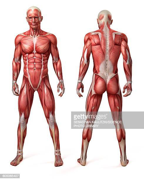 male muscular system, illustration - anatomy stock illustrations