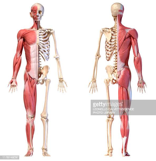 male musculature and skeleton, illustration - anatomy stock illustrations