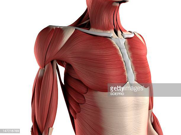 male musculature, artwork - physiology stock illustrations, clip art, cartoons, & icons