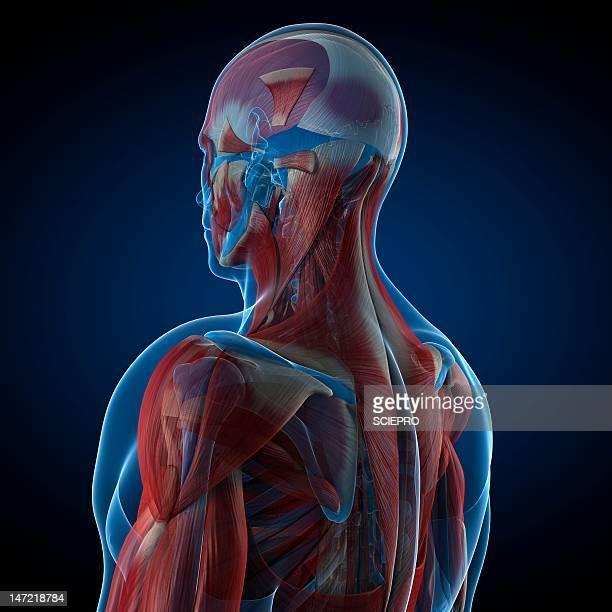 ilustraciones, imágenes clip art, dibujos animados e iconos de stock de male musculature, artwork - músculo humano