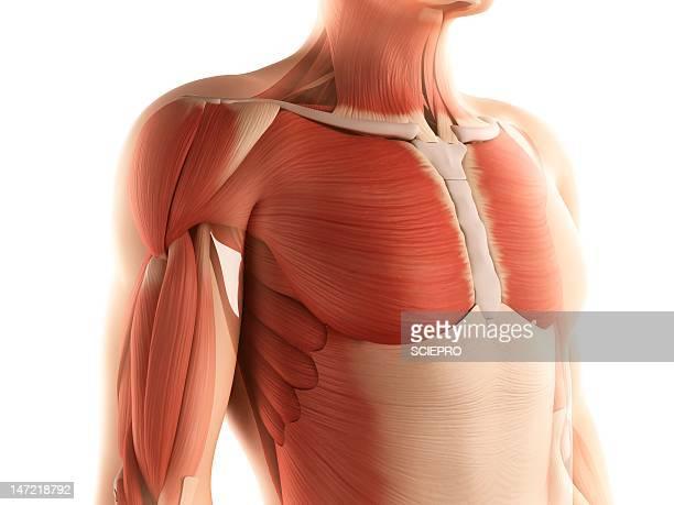 male musculature, artwork - tendon stock illustrations