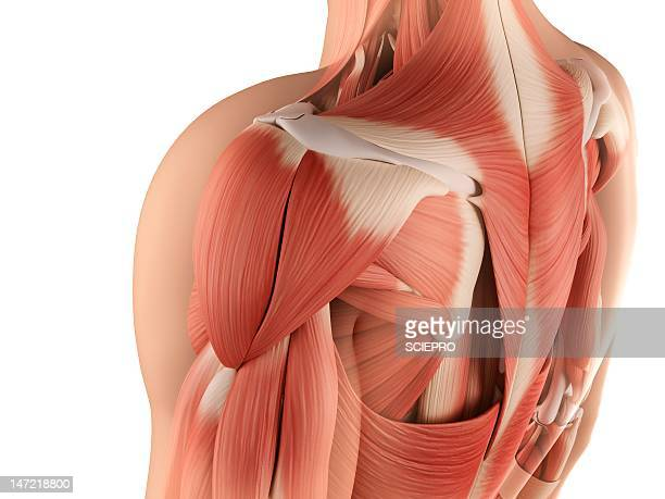 male musculature, artwork - human muscle stock illustrations