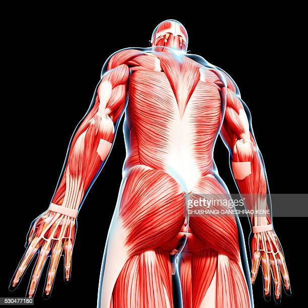 Male musculature, computer artwork.