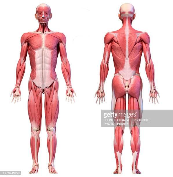 male musculature, illustration - male likeness stock illustrations