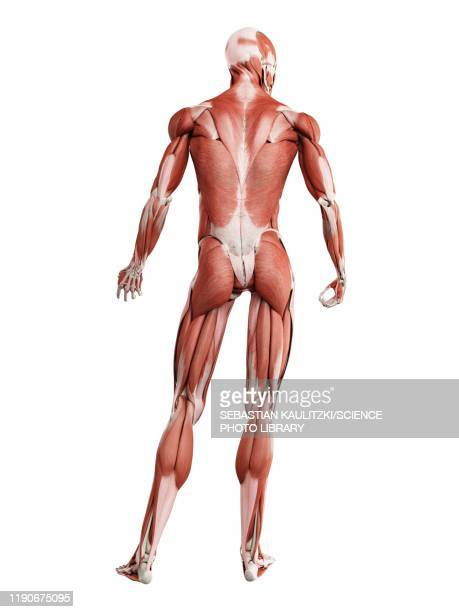 male musculature, illustration - physiology stock illustrations