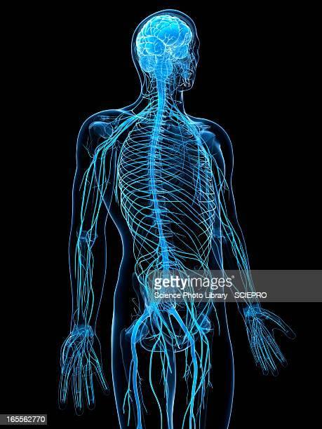 ilustrações de stock, clip art, desenhos animados e ícones de male nervous system, artwork - sistema nervoso central
