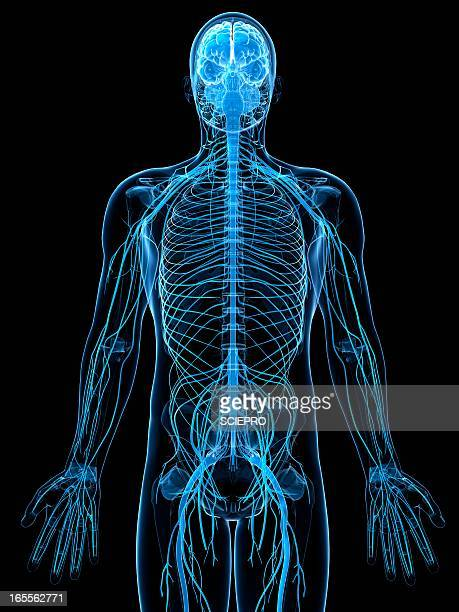 male nervous system, artwork - front view stock illustrations
