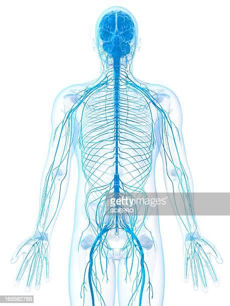 male nervous system, artwork - human nervous system stock illustrations