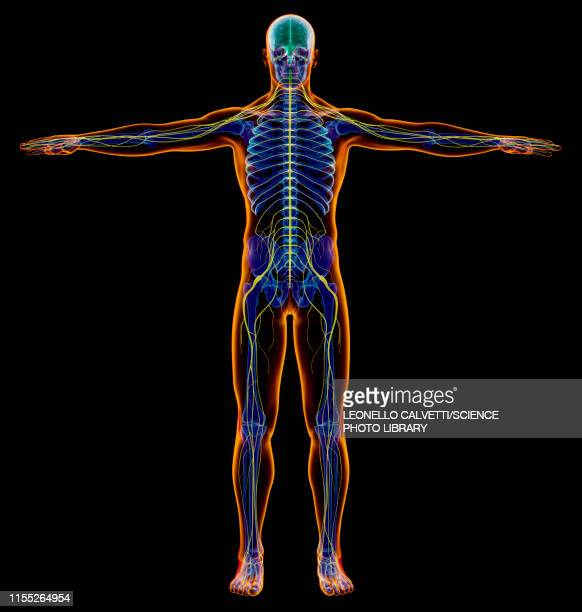 male nervous system, illustration - anatomy stock illustrations