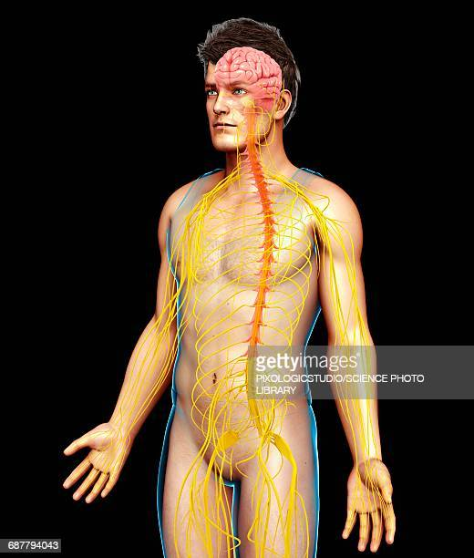ilustrações de stock, clip art, desenhos animados e ícones de male nervous system, illustration - sistema nervoso central