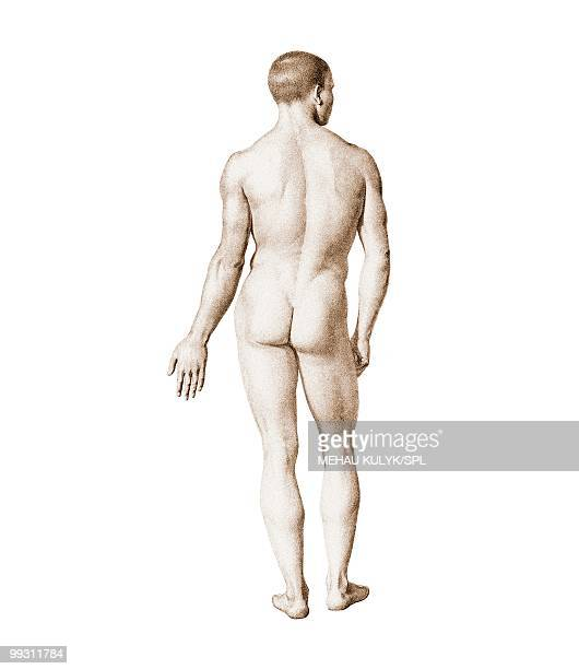 Male nude, artwork