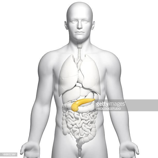 male pancreas, artwork - pancreas stock illustrations, clip art, cartoons, & icons