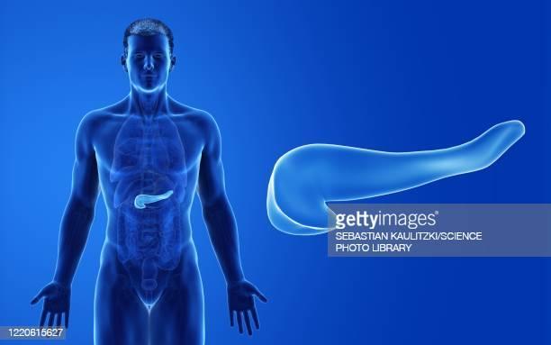 male pancreas, illustration - pancreas stock illustrations