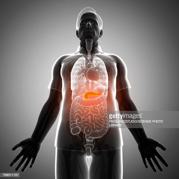 male pancreas, illustration - pancreas stock illustrations, clip art, cartoons, & icons