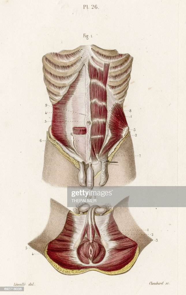 Male Perineum Anatomy Engraving 1886 Stock Illustration | Getty Images