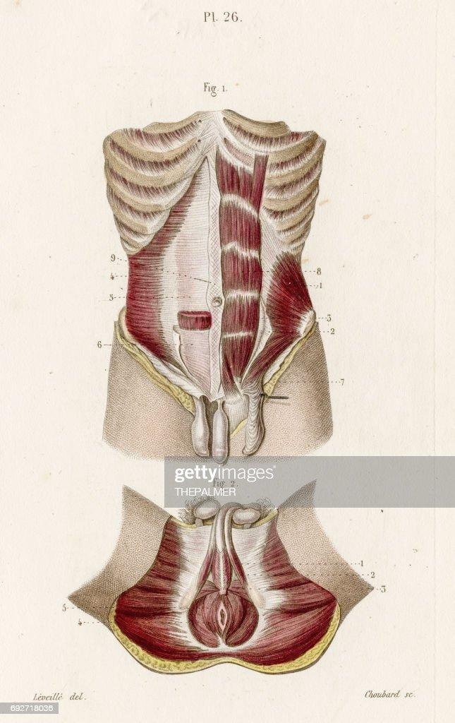 male perineum anatomy