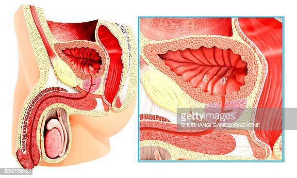 male reproductive system, computer artwork. - human body part stock illustrations