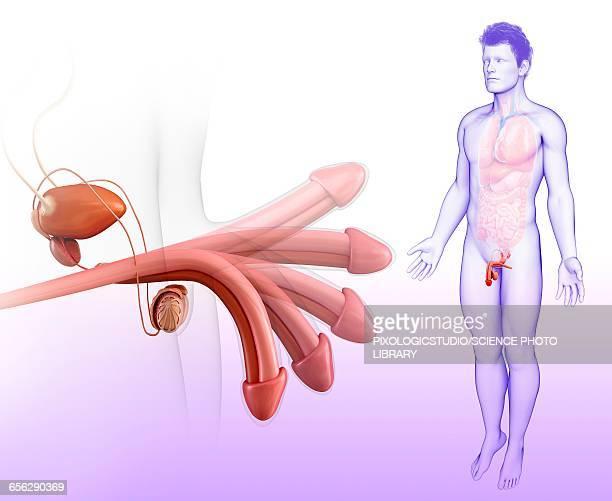 male reproductive system, illustration - hodensack stock-grafiken, -clipart, -cartoons und -symbole
