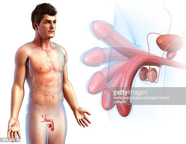 ilustraciones, imágenes clip art, dibujos animados e iconos de stock de male reproductive system, illustration - penis