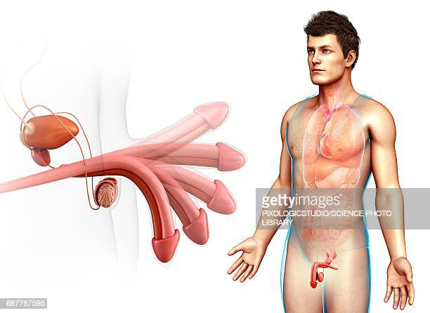 male reproductive system, illustration - erection stock illustrations, clip art, cartoons, & icons