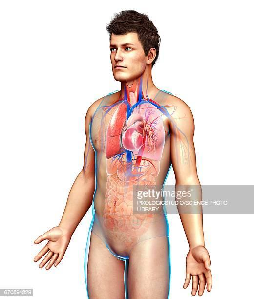 ilustraciones, imágenes clip art, dibujos animados e iconos de stock de male respiratory system, illustration - sistema respiratorio