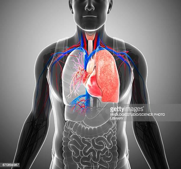Male respiratory system, illustration