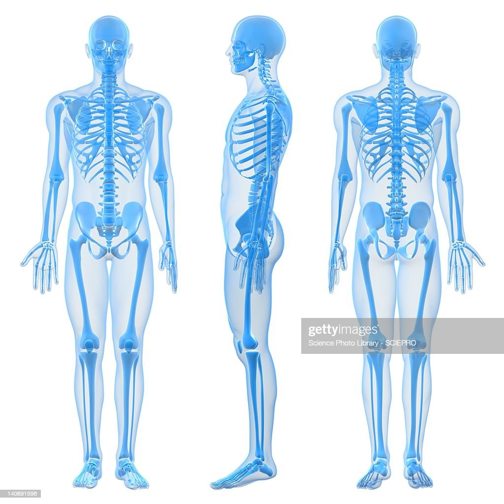 Male skeleton, artwork : Ilustração