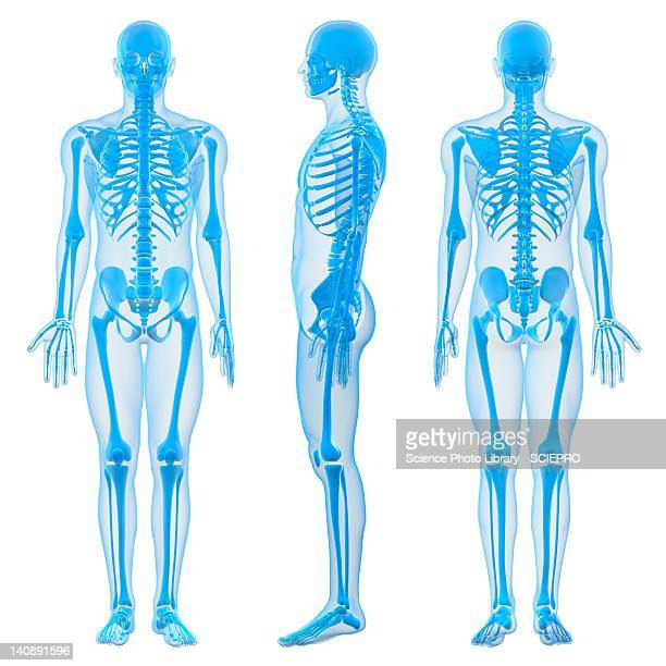 male skeleton, artwork - anatomy stock illustrations
