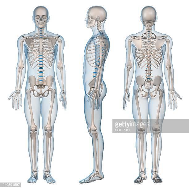 ilustraciones, imágenes clip art, dibujos animados e iconos de stock de male skeleton, artwork - esqueleto humano