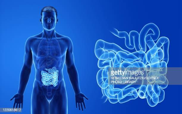 male small intestine, illustration - digestive system stock illustrations