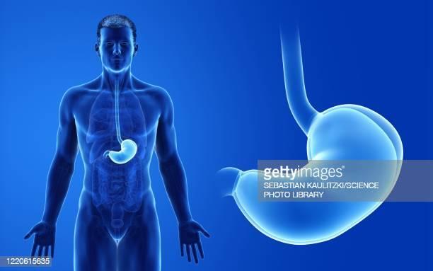 male stomach, illustration - human digestive system stock illustrations