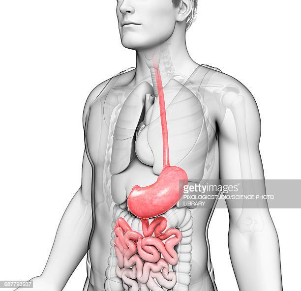 male stomach, illustration - human digestive system stock illustrations, clip art, cartoons, & icons