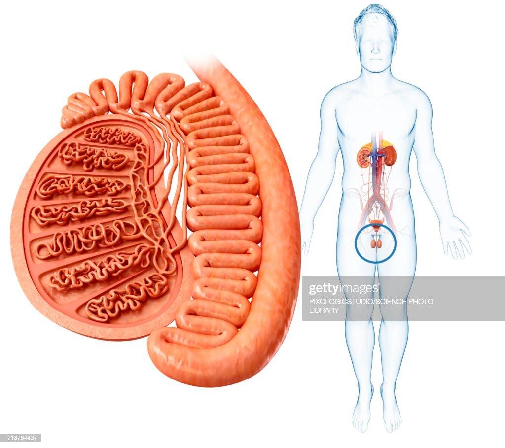 Famoso Human Testis Anatomy Bandera - Anatomía de Las Imágenesdel ...