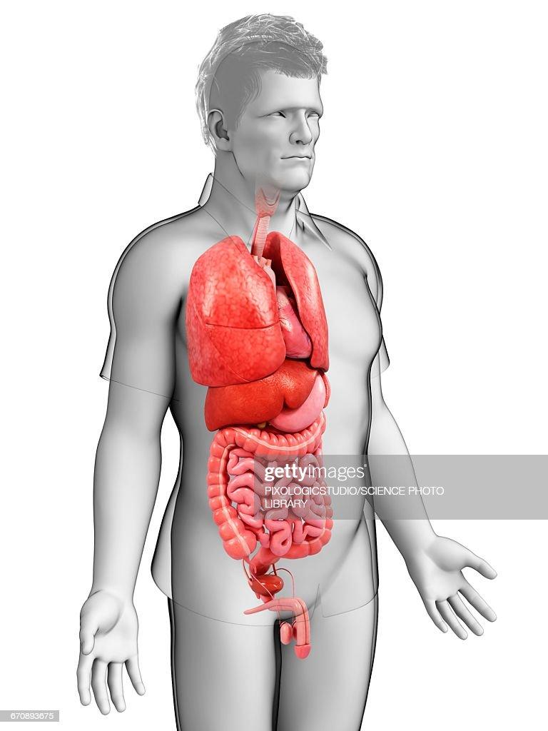 Male Torso Organs Illustration Stock Illustration Getty Images