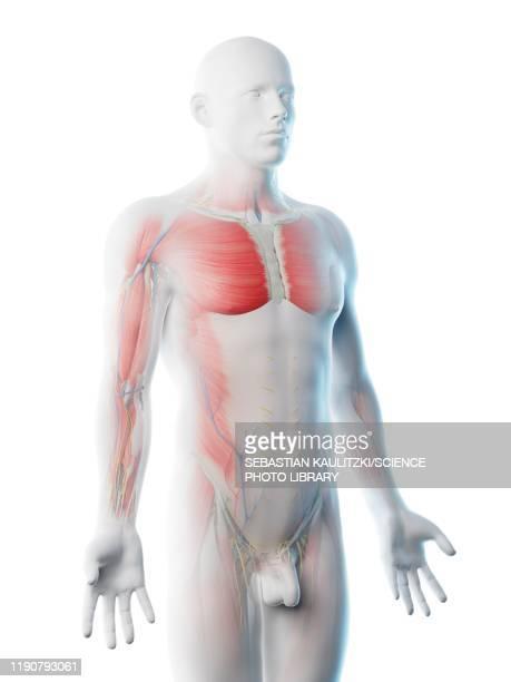 male upper body anatomy, illustration - the human body点のイラスト素材/クリップアート素材/マンガ素材/アイコン素材