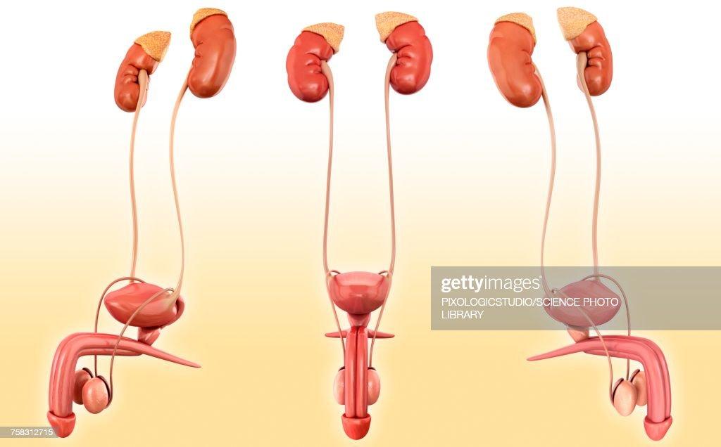 Male Urinary System Anatomy Illustration Stock Illustration | Getty ...