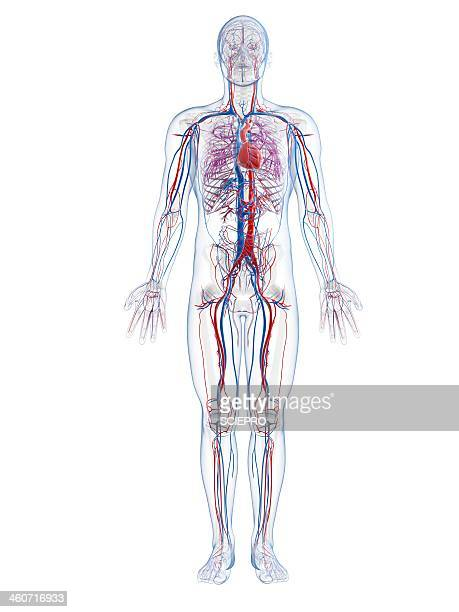 male vascular system, artwork - blood vessel stock illustrations, clip art, cartoons, & icons