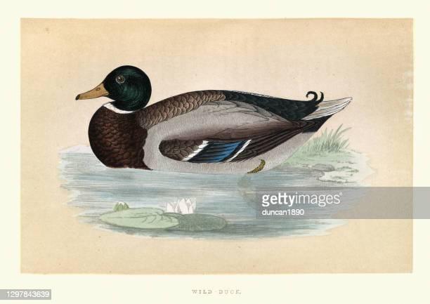 mallard, anas platyrhynchos, wild duck wildlife, bird art print - mallard duck stock illustrations